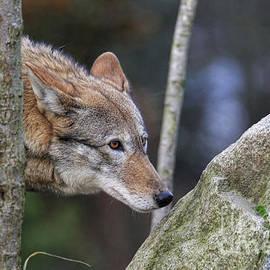 Steve McKinzie - Red Wolf Woods