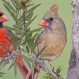 Bonnie Barry - Redbirds Face to Face