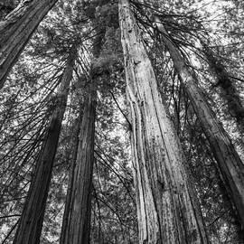 Bob Phillips - Redwood Canopy-2