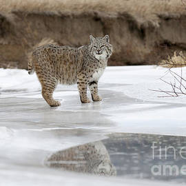 Wildlife Fine Art - Reflected Glance