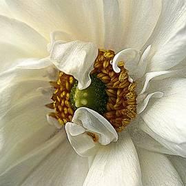 CJ Anderson - Remarkable Ranunculus Series 2 No 1