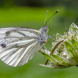 Adam Budziarek - Resting butterfly