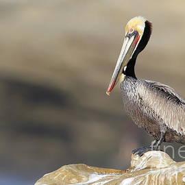 Bryan Keil - Resting pelican
