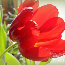 Photographic Art and Design by Dora Sofia Caputo - Rhapsody in Red - Tulip