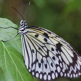 Maj Seda - Rice Paper Butterfly