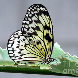 Inspired Nature Photography By Shelley Myke - Rice Paper Butterfly on a Leaf