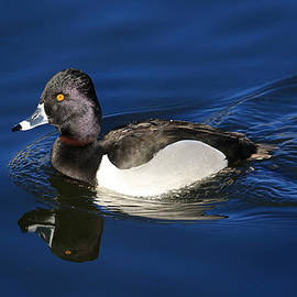 Donna Kennedy - Ring-necked Duck