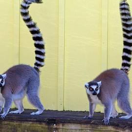 Cynthia Guinn - Ring-tailed Lemurs