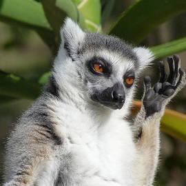 Margaret Saheed - Ring-tailed Lemur In Sunshine