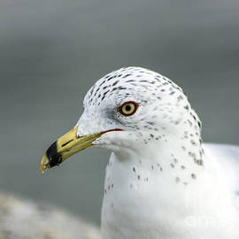 David Cutts - Ringed-billed gull close-up