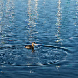 Georgia Mizuleva - Ripples and Circles - Red-Necked Grebe Surfacing