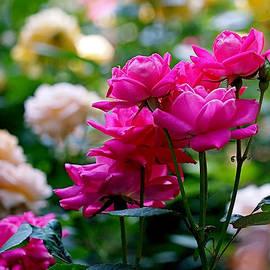 Rona Black - Rittenhouse Square Roses