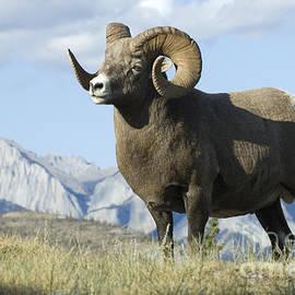 Bob Christopher - Rocky Mountain Big Horn Sheep