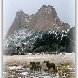 Michelle Frizzell-Thompson - Rocky Mountain Big Horn Sheep