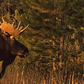 Priscilla Burgers - Rocky Mountain National Park Moose