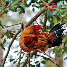 Cynthia Guinn - Rooster In A Tree