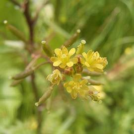 Tracey Harrington-Simpson - Rorippa Palustris Delicate Pale Mustard Flower