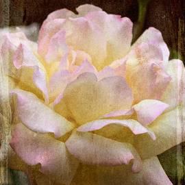 Pamela Cooper - Rose 279