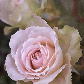 Pamela Cooper - Rose 311