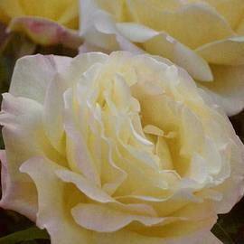 Pamela Cooper - Rose 313