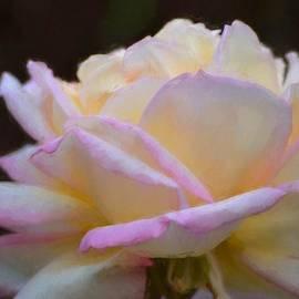 Pamela Cooper - Rose 323