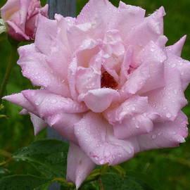 Lingfai Leung - Rose-A-Rain