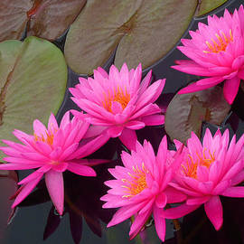 Dan Myers - Rose Arey Waterlilies