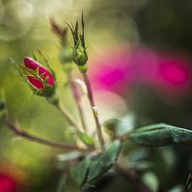 F Leblanc - Rose Bud