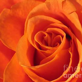 Art Photography - Rose Close up