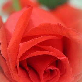The Art Of Marilyn Ridoutt-Greene - Rose d