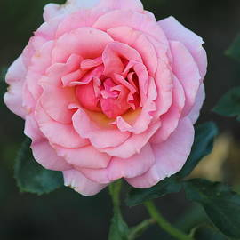 Rosanne Jordan - Rose in Full Bloom