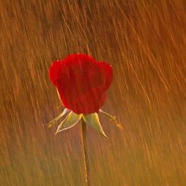 Joe  Connors - A Rose in the Rain