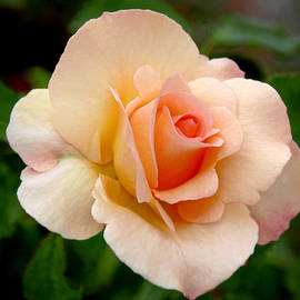 Christine Till - Rose is a Rose is a Rose