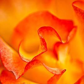 Onyonet  Photo Studios - Rose Petals Closeup