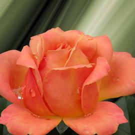 Steven  Michael - Rose Petals