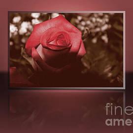 Claudia Mottram - Rose reflection 1