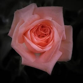 Richard Andrews - Rose