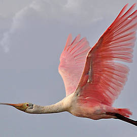 Kathy Baccari - Roseate Spoonbill In Flight