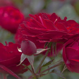 Maj Seda - Roses and Roses