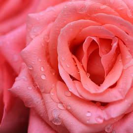 Rachel Cohen - Roses in Pink 1