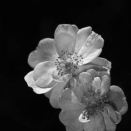 Joy Watson - Roses On Black