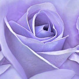 Jennie Marie Schell - Three Roses Lavender Floral