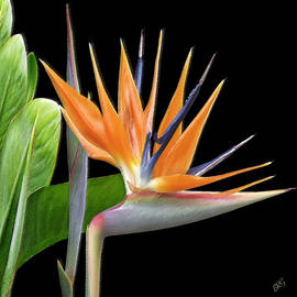 Ben and Raisa Gertsberg - Royal Beauty I - Bird Of Paradise