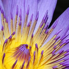 Judy Whitton - Royal Purple Water Lily #10