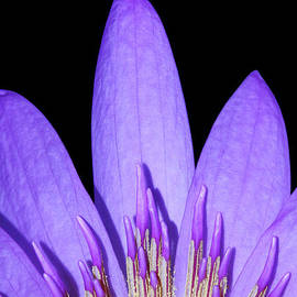 Judy Whitton - Royal Purple Water Lily #13
