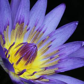 Judy Whitton - Royal Purple Water Lily #14