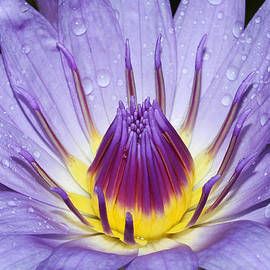 Judy Whitton - Royal Purple Water Lily #3