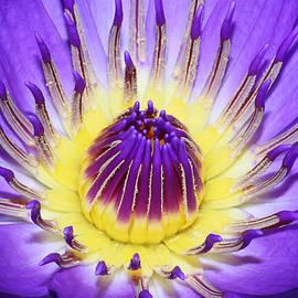 Judy Whitton - Royal Purple Water Lily #7