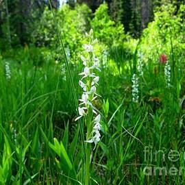 Lena Kouneva - Royal Rain Orchid