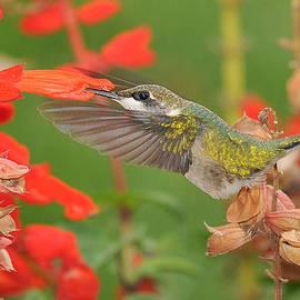 Linda Konz - Ruby-throated Hummingbird